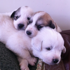 Pyr pups 1