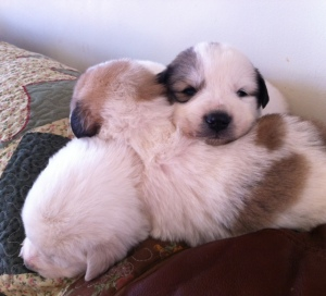 Pyr pups 2